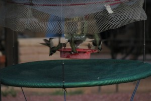 "Hummingbirds inside a remote-controlled ""bonnet"" trap."