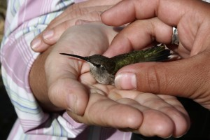 After all the data is collected and the bird has been offered a drink, it is placed in a friendly hand for release.