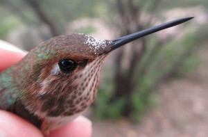 The forehead of a young Rufous Hummingbird carries a thick layer of pollen from a native red morning-glory.