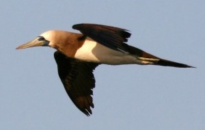 Brown Booby at Puerto Penasco, Sonora (photo by Sheri L. Williamson)