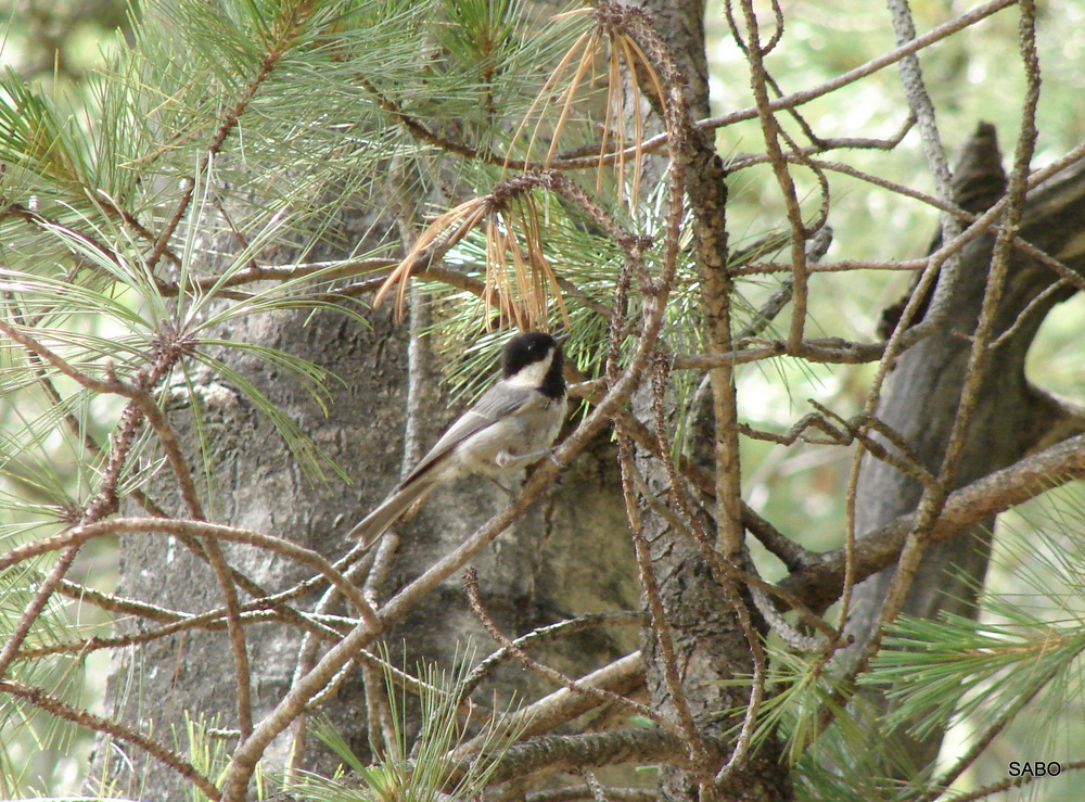 Mexican Chickadee