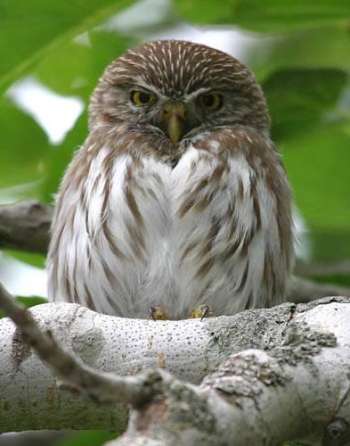 Ferrugenous Pygmy Owl