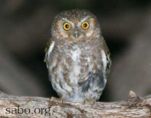 "The Elf Owl, the world's smallest owl, is common in the foothills of southeastern Arizona's ""sky island"" mountain ranges."