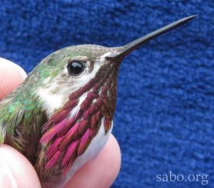 CAHU male 30 Aug 15