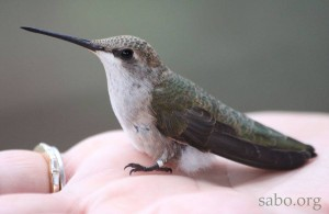 A young female Black-chinned Hummingbird shows off her new band before taking off.