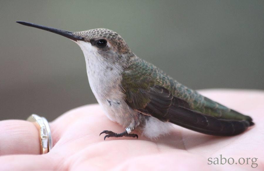 Countdown To 6k Hummingbirds Southeastern Arizona Bird