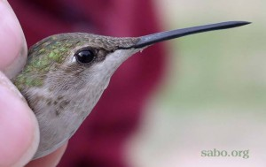 Arizona's first documented Ruby-throated Hummingbird, banded in Tucson in January 2005 by SABO Director Sheri Williamson.