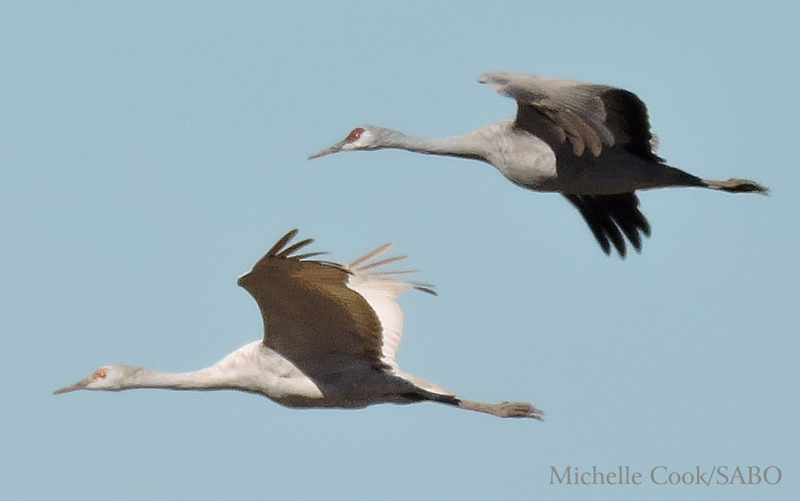 A dilute (hypomelanistic) Sandhill Crane at Whitewater Draw Wildlife Area, January 2016.