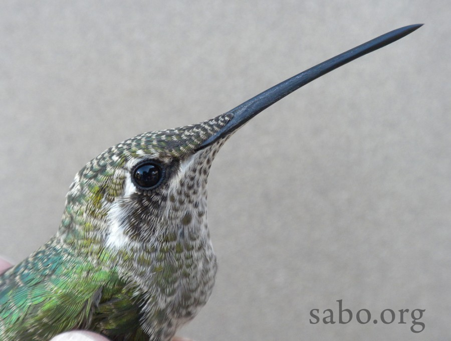 "A juvenile (""hatch-year"") female Magnificent Hummingbird poses for her ""mug shot."" Look at that huge bill!"