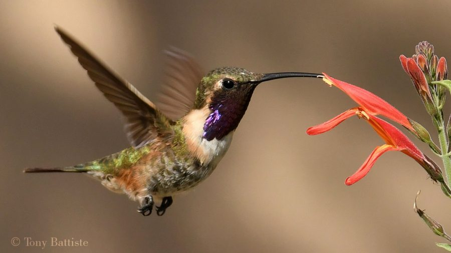 Lucifer Hummingbird by Tony Battiste